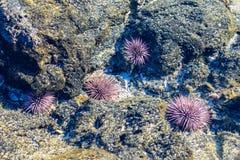 Anémonas de mar en piscina de marea   imagen de archivo