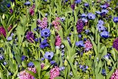 Anémonas, mezcla de la flor de los jacintos Fotografía de archivo