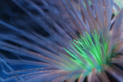 Anémone bioluminescente Photo libre de droits
