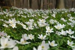 Anémone blanche de fleur de ressort Photographie stock