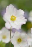Anémone blanche (sylvestris d'anémone) Photo libre de droits