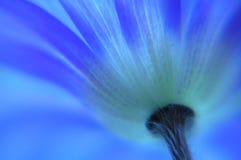 Anémone bleue images libres de droits