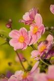 Anémone, charme de septembre Photos stock