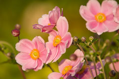 Anémone, charme de septembre Images stock