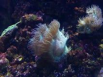 anémone dans l'aquarium d'eau salée Photos stock