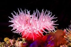 Anémone de la Mer Rouge sur le récif photographie stock