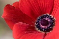 Anémone de rouge de plan rapproché Image libre de droits