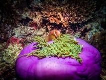 Anémone de Sebae avec des poissons la nuit Côte maldivienne Photo stock