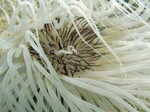 Anémone de tube - espèces de Cerianthus. photographie stock