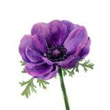 Anémone de violette d'aquarelle Illustration tirée par la main sur le fond blanc Pour la conception, le textile et le fond L'IL b Images stock