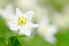Anémone en bois (Anemone Nemorosa) Images stock