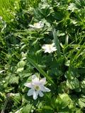Anémone en bois fleurissant au printemps Photo libre de droits