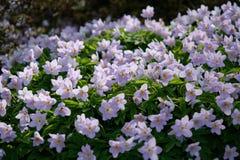 Anémone en bois ou Windflower en Van Duzen Botanical Garden photos stock