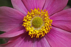 Anémone japonaise en été, Windflower japonais Images stock