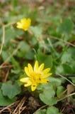 Anémone jaune Image libre de droits