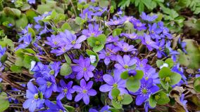 An?mone lilas de plan rapproch? dans un jardin botanique, une des premi?res fleurs au printemps, foyer mou banque de vidéos
