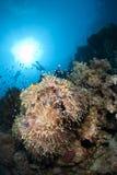 Anémone magnifique avec l'école des poissons. Image stock