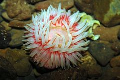 Anémone nordique de la Mer Rouge images stock