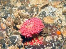 Anémone peinte sur le fond océanique Photographie stock libre de droits