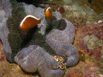 Anémone-poissons et crabe. Photographie stock libre de droits