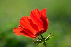 Anémone rouge Photo libre de droits