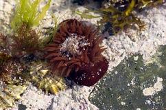 Anémone rouge sous-marine Photo libre de droits