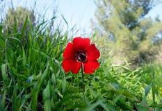 Anémone sauvage de floraison dans le pré Photo libre de droits