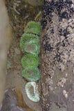 Anémone verte à marée basse images libres de droits