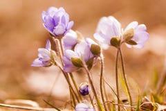 Anémones bleues Photos libres de droits