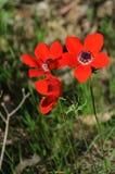 Anémones de floraison Photos libres de droits