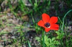 Anémones de floraison Image libre de droits
