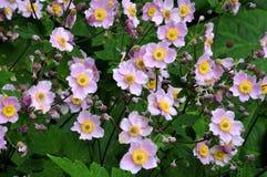 Anémones japonaises roses dans le parterre Photos stock