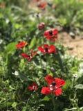 Anémones rouges photographie stock libre de droits