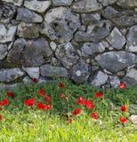 Anémones sauvages rouges devant le mur en pierre gris Photo libre de droits