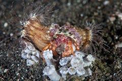 Anémones sur le bernard l'ermite Photographie stock