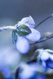 Anêmona azul de florescência Fotografia de Stock Royalty Free