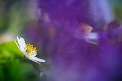 Anêmona bonita foto de stock