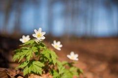 Anêmona branca bonita na floresta na frente do céu azul imagem de stock