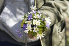 A anêmona branca da primeira flor da mola na floresta, fundo borrado Fotos de Stock Royalty Free