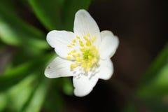 A anêmona branca da primeira flor da mola na floresta, fundo borrado Foto de Stock