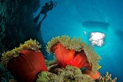 Anêmona com mergulhador Imagem de Stock