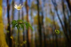 Anêmona da primavera Imagem de Stock Royalty Free