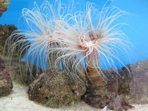Anêmona de mar Foto de Stock Royalty Free