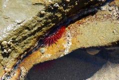 Anêmona de mar Imagem de Stock Royalty Free