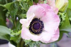 Anêmona francesa cor-de-rosa com centro preto fotos de stock