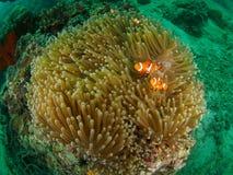 Anêmona magnífica com peixes fotografia de stock