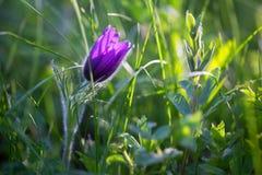 Anêmona roxa na grama no sinlight Imagem de Stock