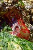 Anêmona verde e vermelho pintada Fotografia de Stock Royalty Free