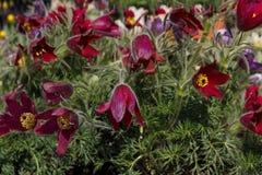 Anêmonas das flores da mola vermelha imagem de stock