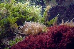 Anêmonas de mar e ervas daninhas do mar imagens de stock royalty free